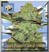 flying dutchmen gforce for Sale at Just Feminized Seeds Bank